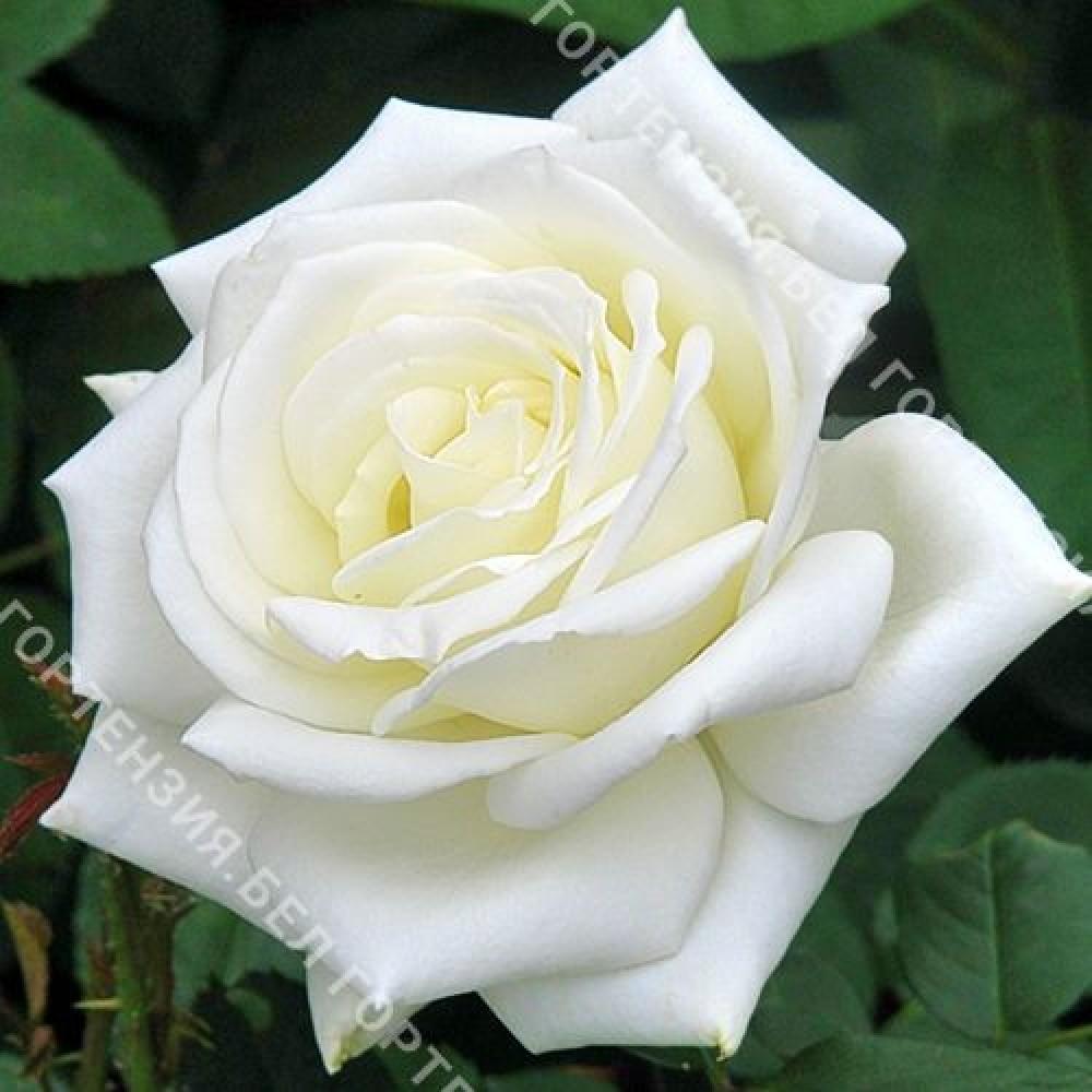 Роза Поляр Стар