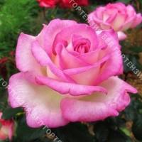 Роза Принцесс де Монако  (горшок 5-6 л. высота 70-80 см.)