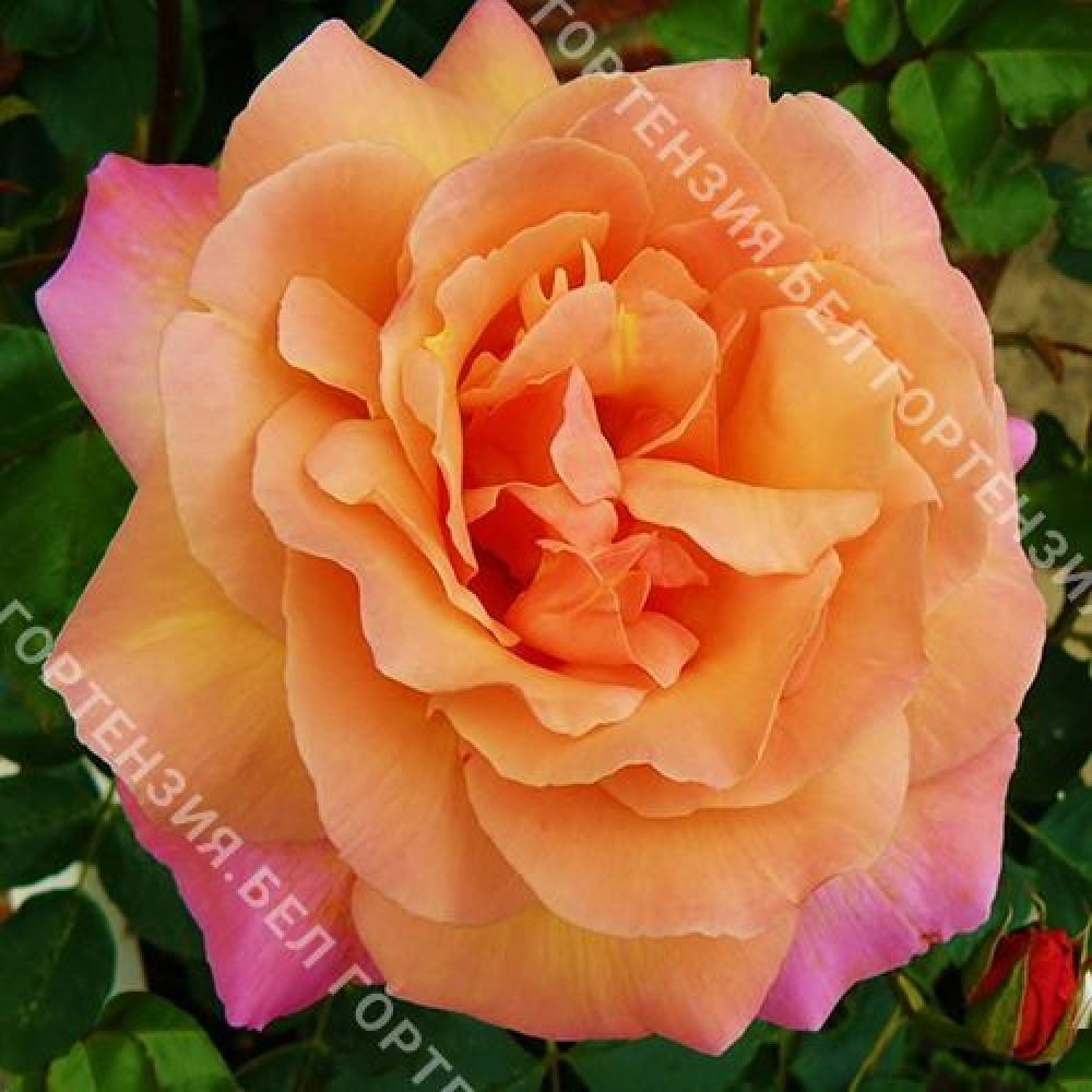 Роза Скулгёл