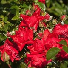 Роза Сорренто