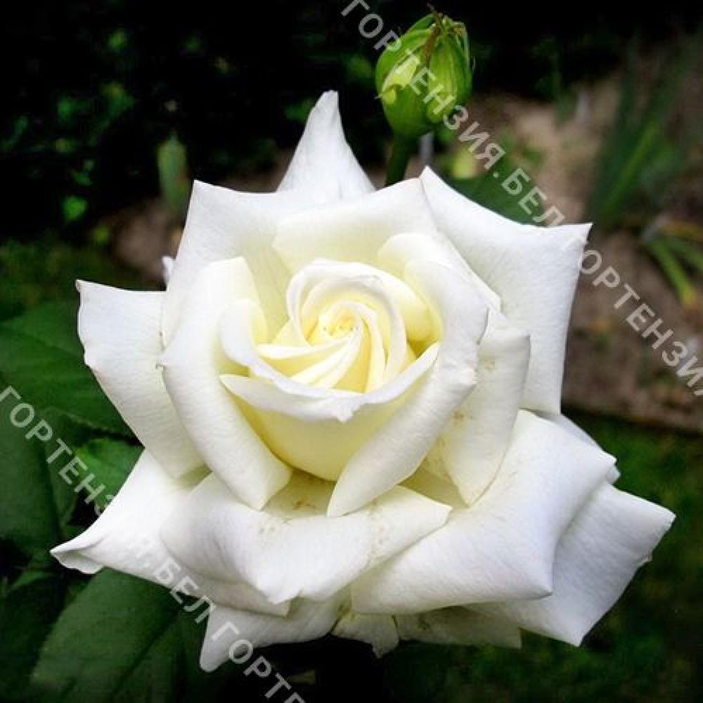 Роза Тинеке