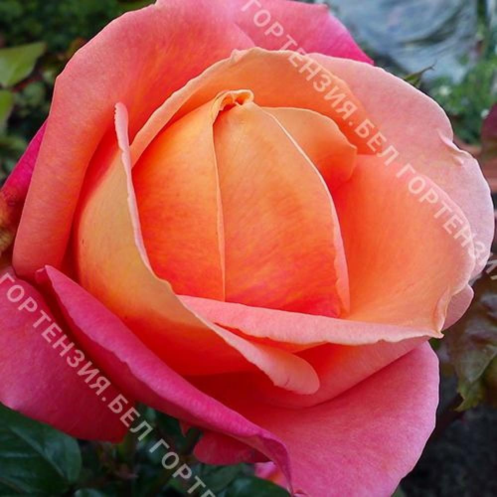 Роза Тройка