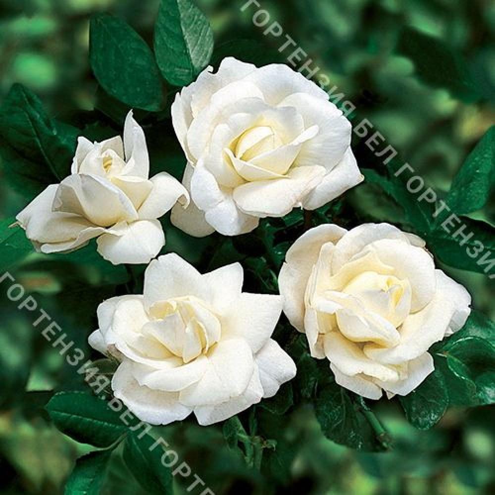Роза Уайт Нью Даун