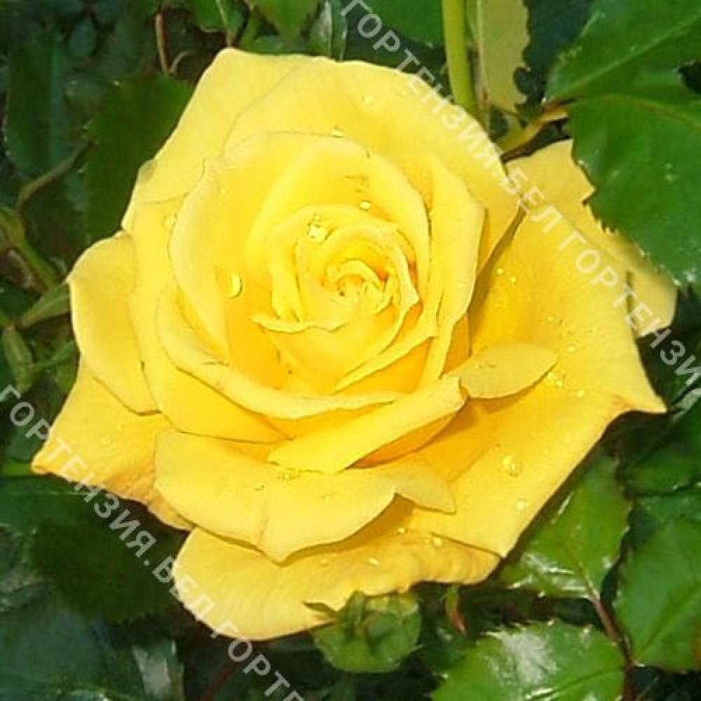 Роза Фризия