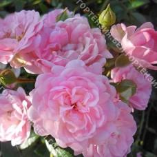 Роза Фэри