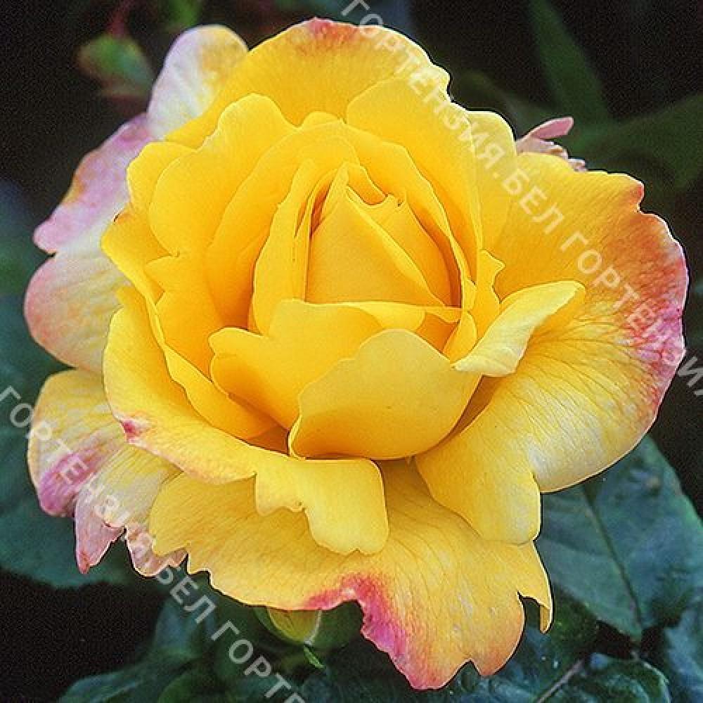 Роза Чайнатаун
