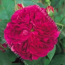 Роза Чарльз де Миллз