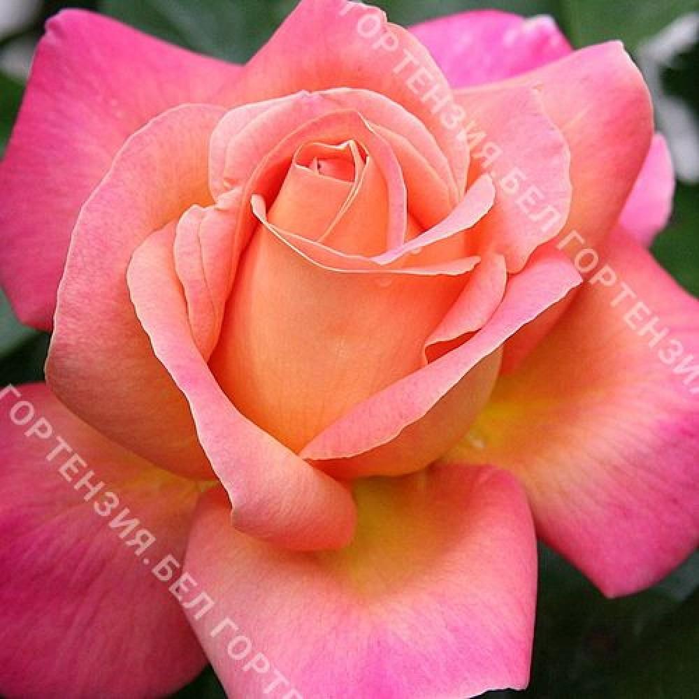 Роза Чикаго Пис  (горшок 5-6 л. высота 70-80 см.)