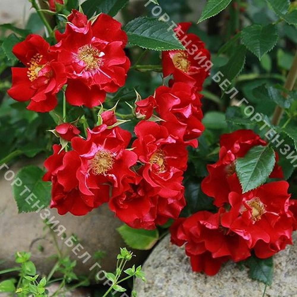 Роза Чимо