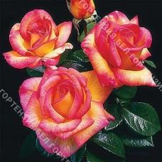 Роза Шейлас Парфюм  (горшок 5-6 л. высота 70-80 см.)