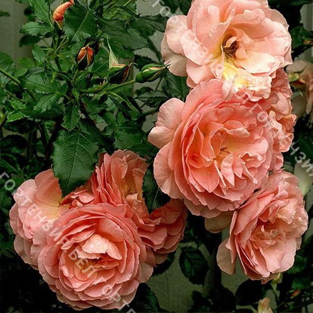 Роза Эмели