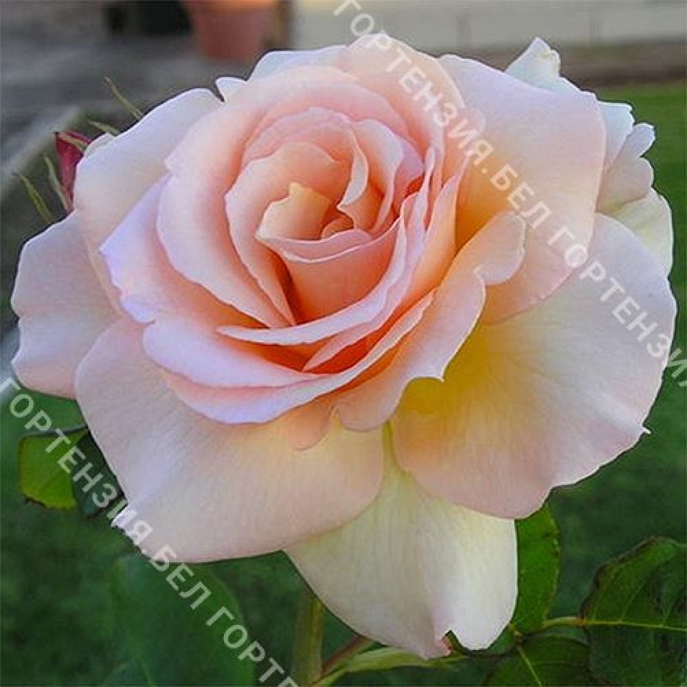 Роза Эприкот Нектар