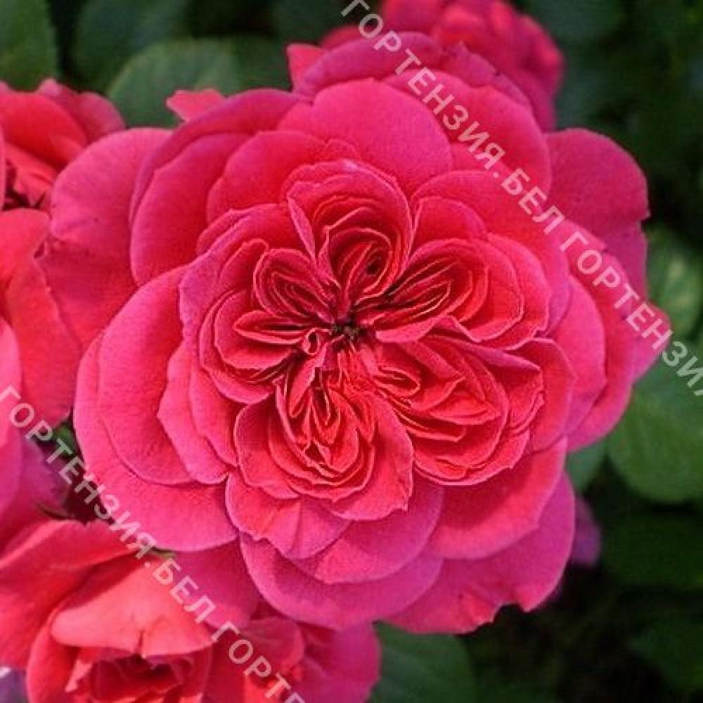 Роза Яроцин