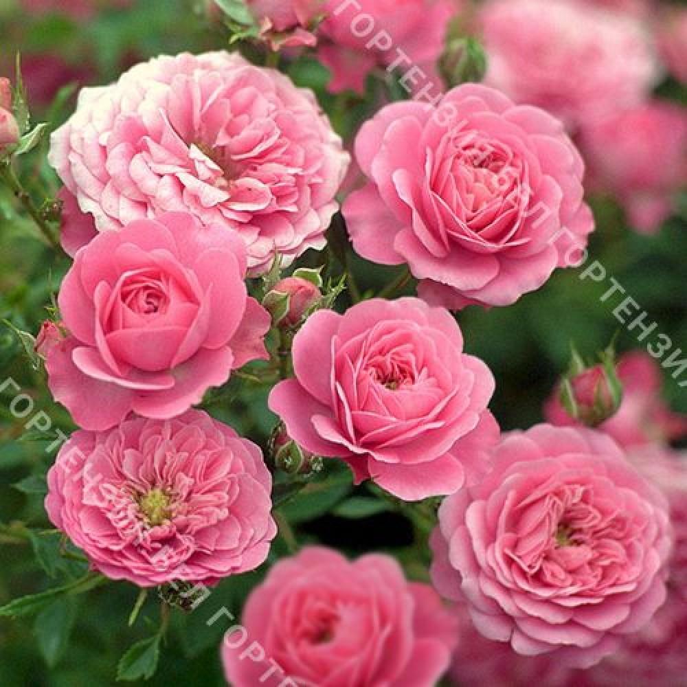 Роза Амулет