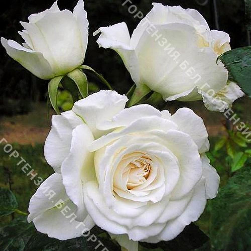 Роза Аннапурна