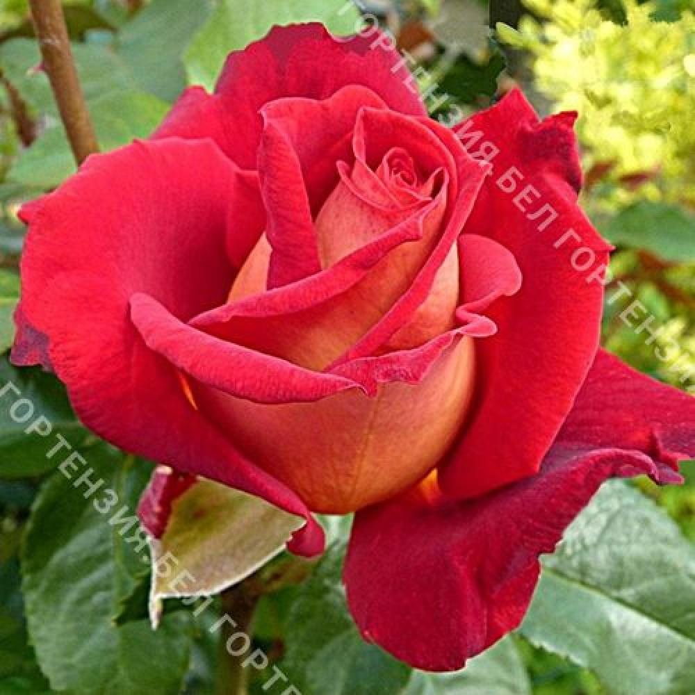Роза Биколет  (горшок 5-6 л. высота 70-80 см.)