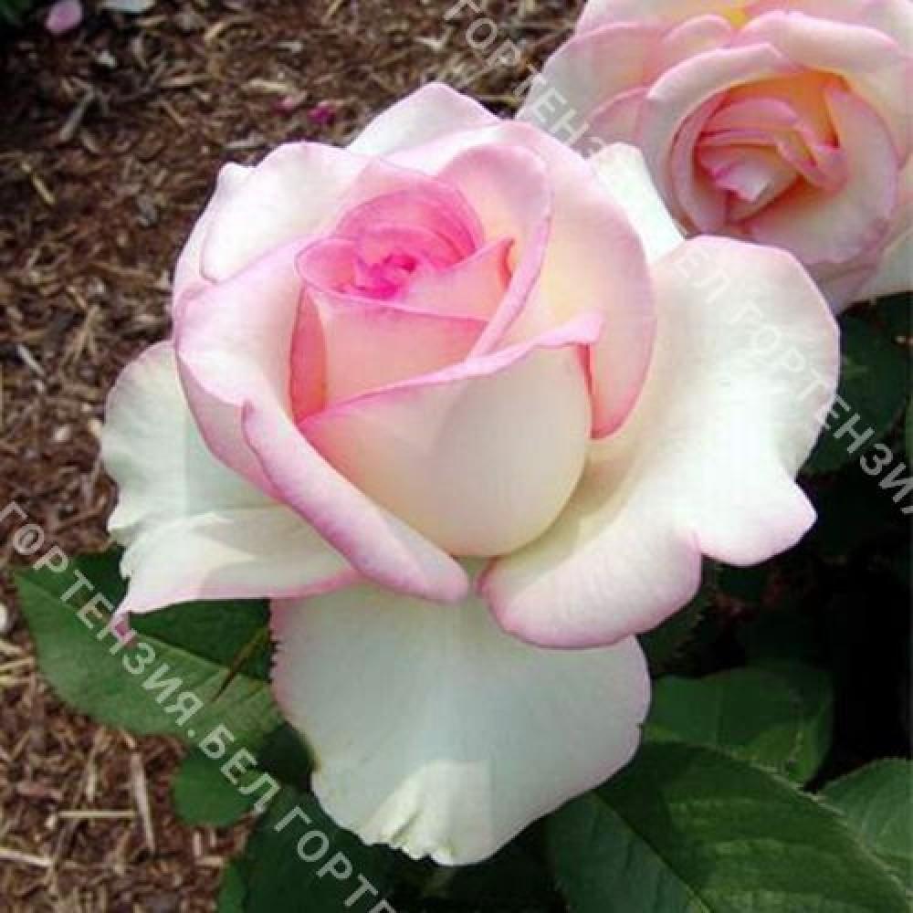 Роза Десса  (горшок 5-6 л. высота 70-80 см.)