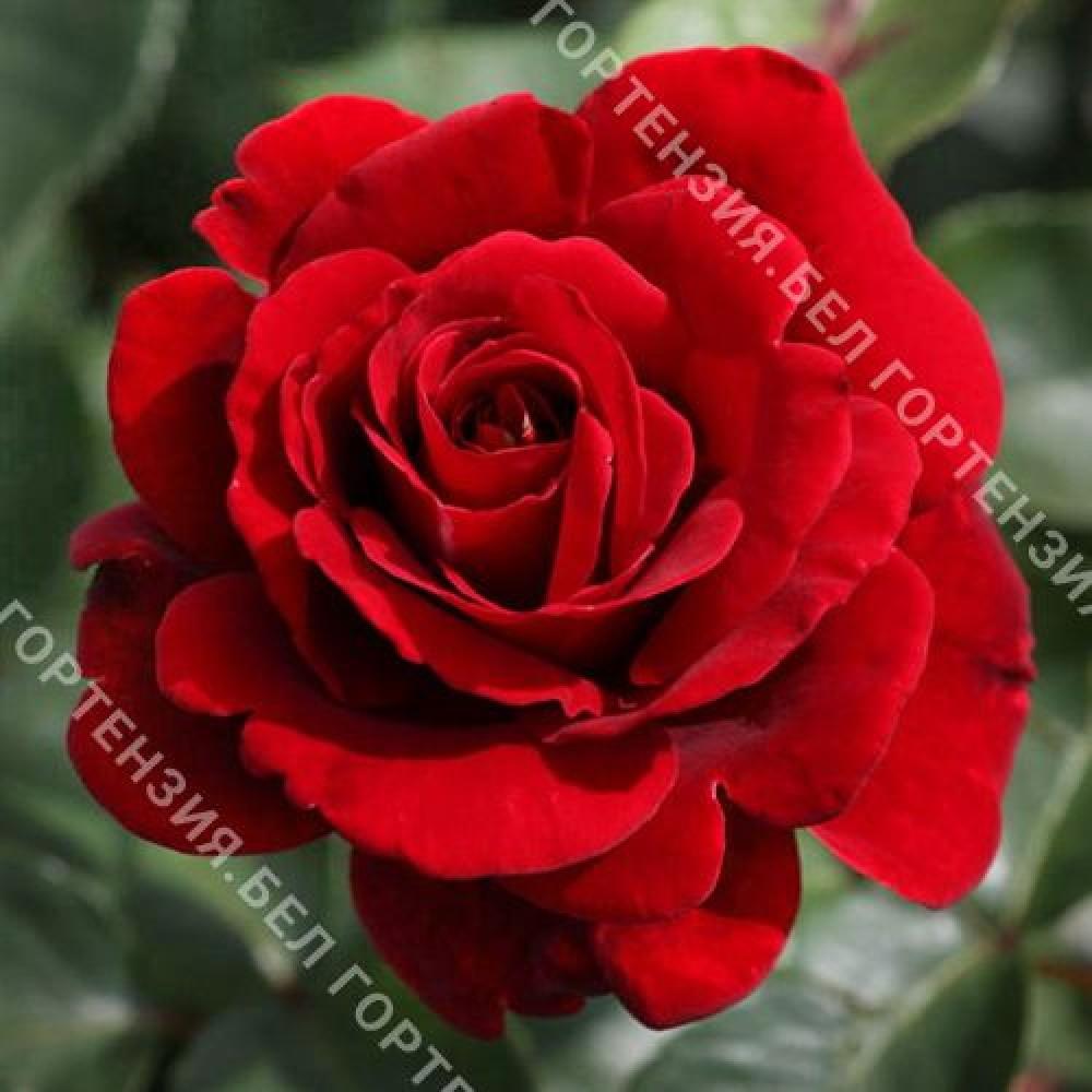 Роза Джаз