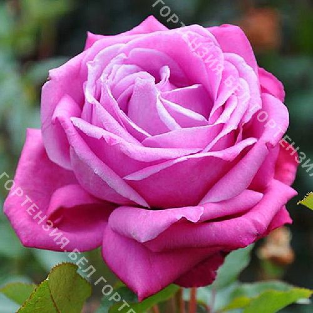 Роза Лила Вундер  (горшок 5-6 л. высота 70-80 см.)