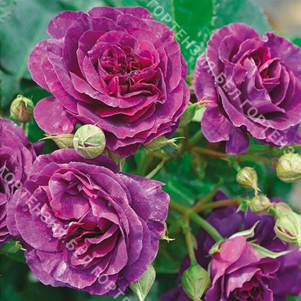 Роза Минерва