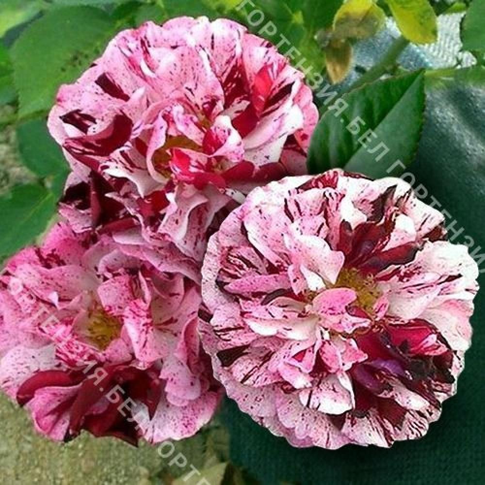 Роза Нью Имейджин (горшок 5-6 л. высота 70-80 см.)