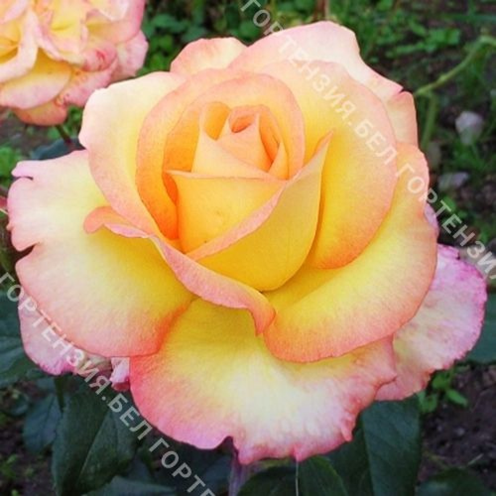 Роза Пер Гюнт