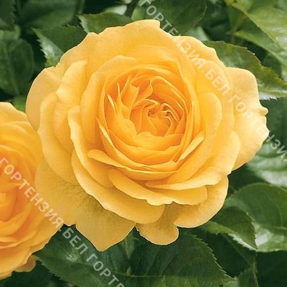 Роза Анисейд