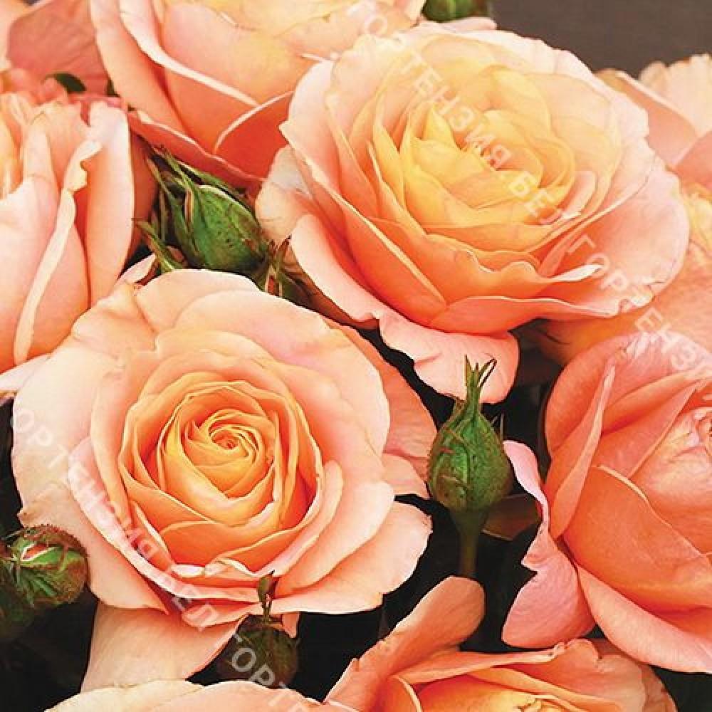 Роза Бенгали