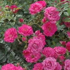 Роза Викинг