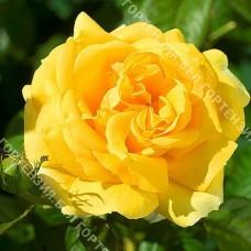 Роза Йеллоу Романтика