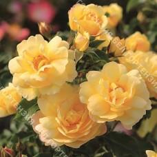 Роза Кандела