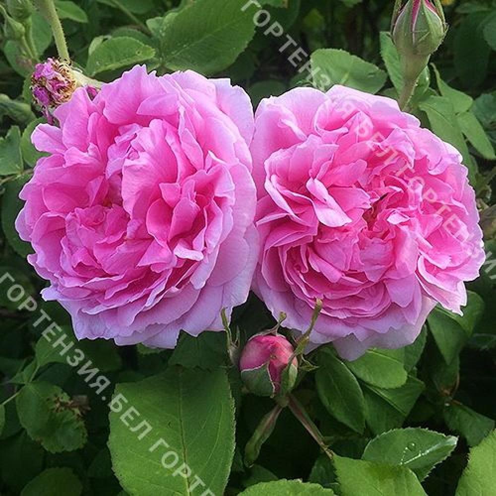 Роза Мадам Болл