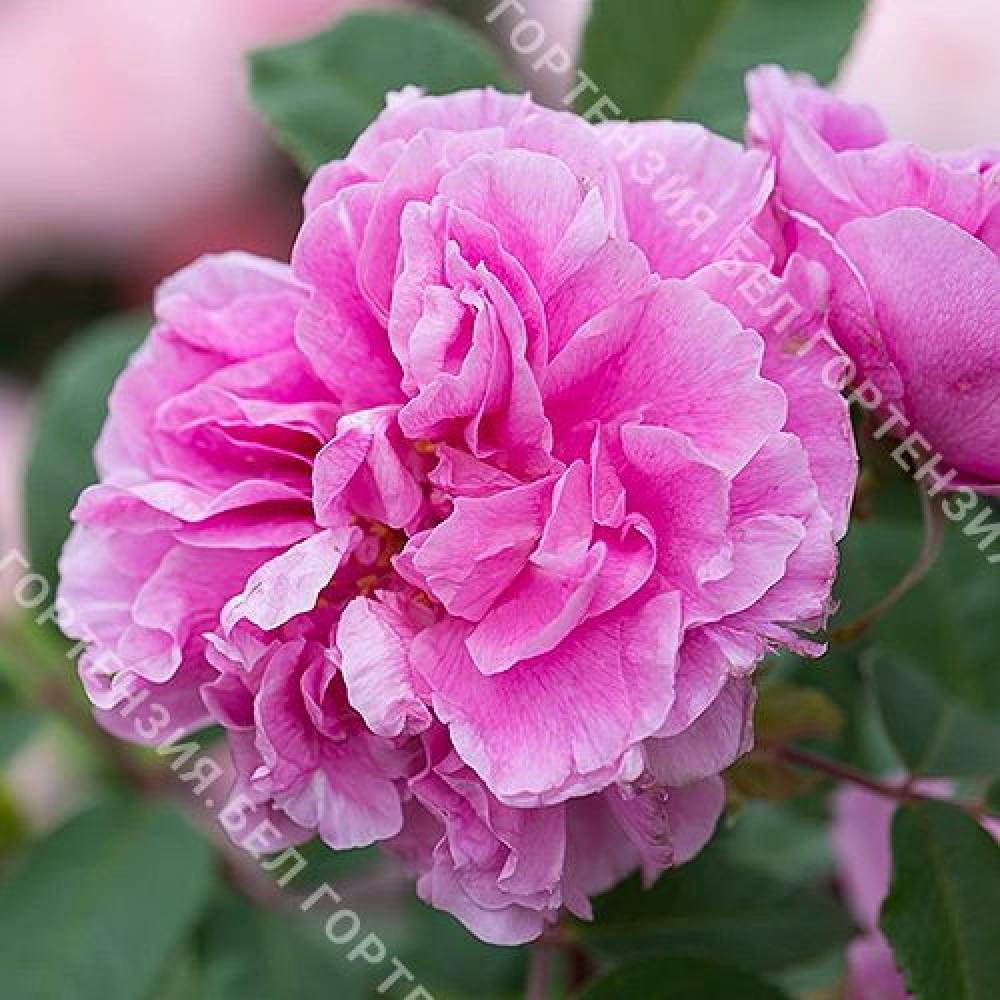 Роза Терез Бунье