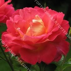 Роза Арлекин