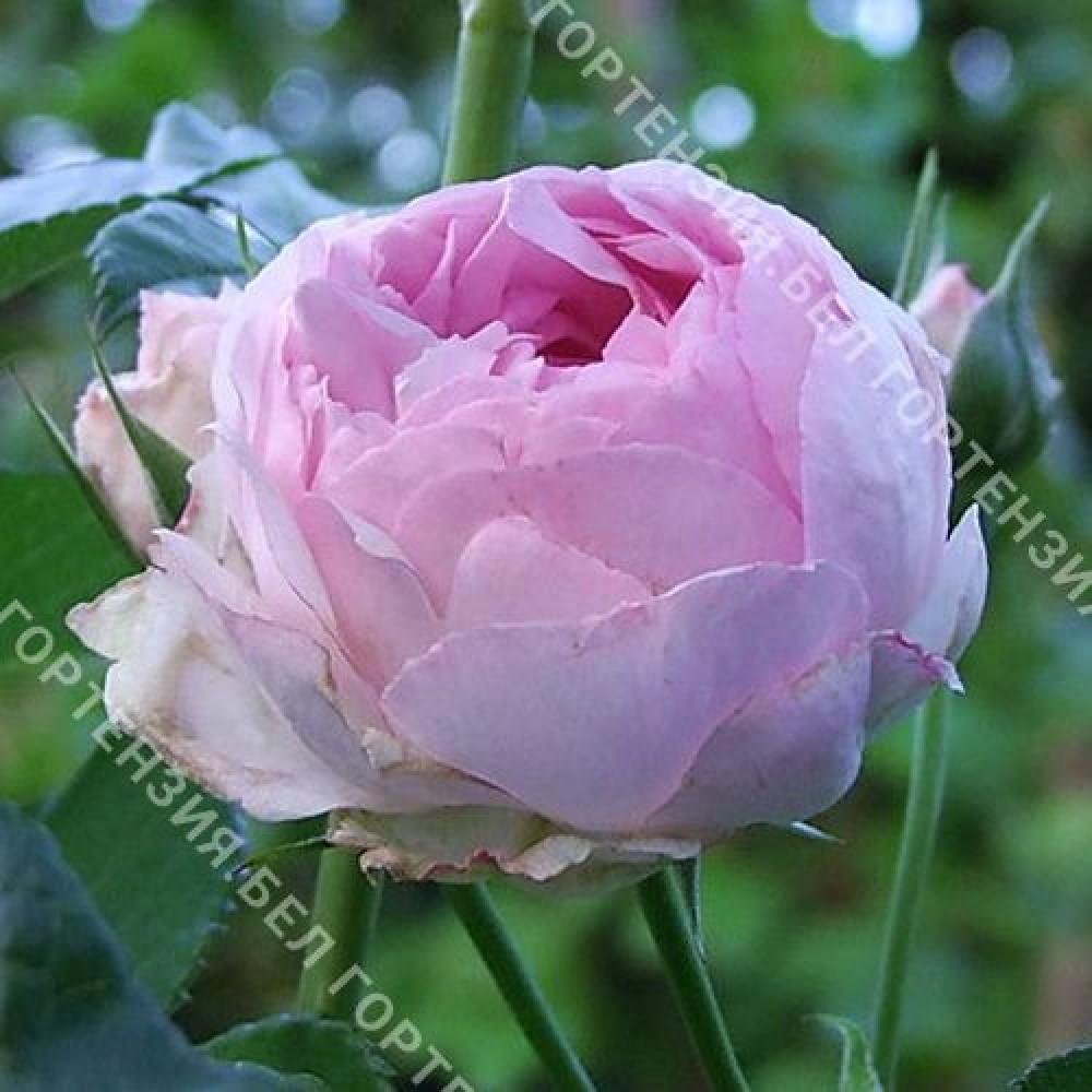 Роза Везалиус