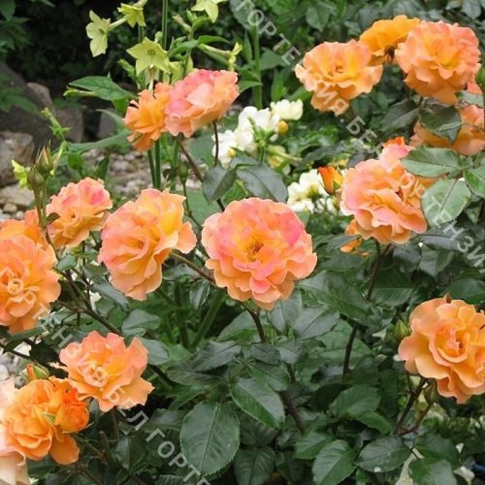 Роза Вестцайт