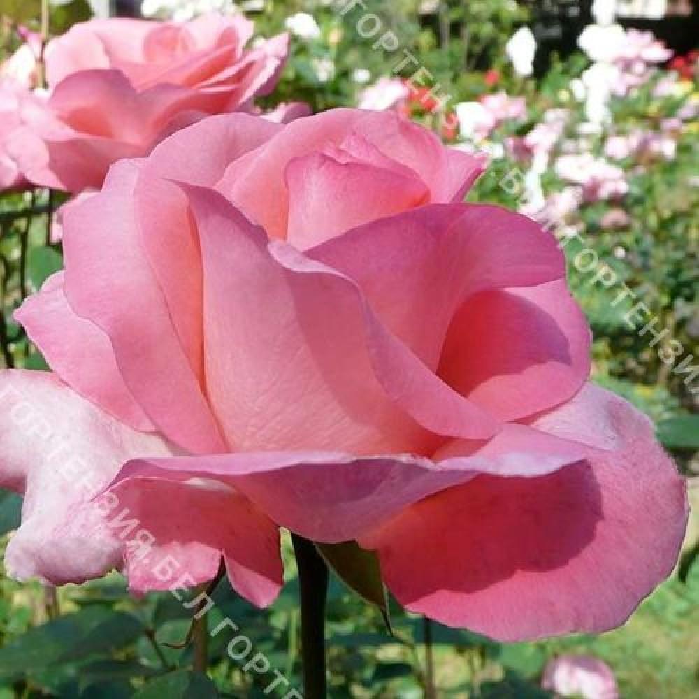 Роза Диана де Пуатье