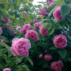 Роза Куп д'Хебе
