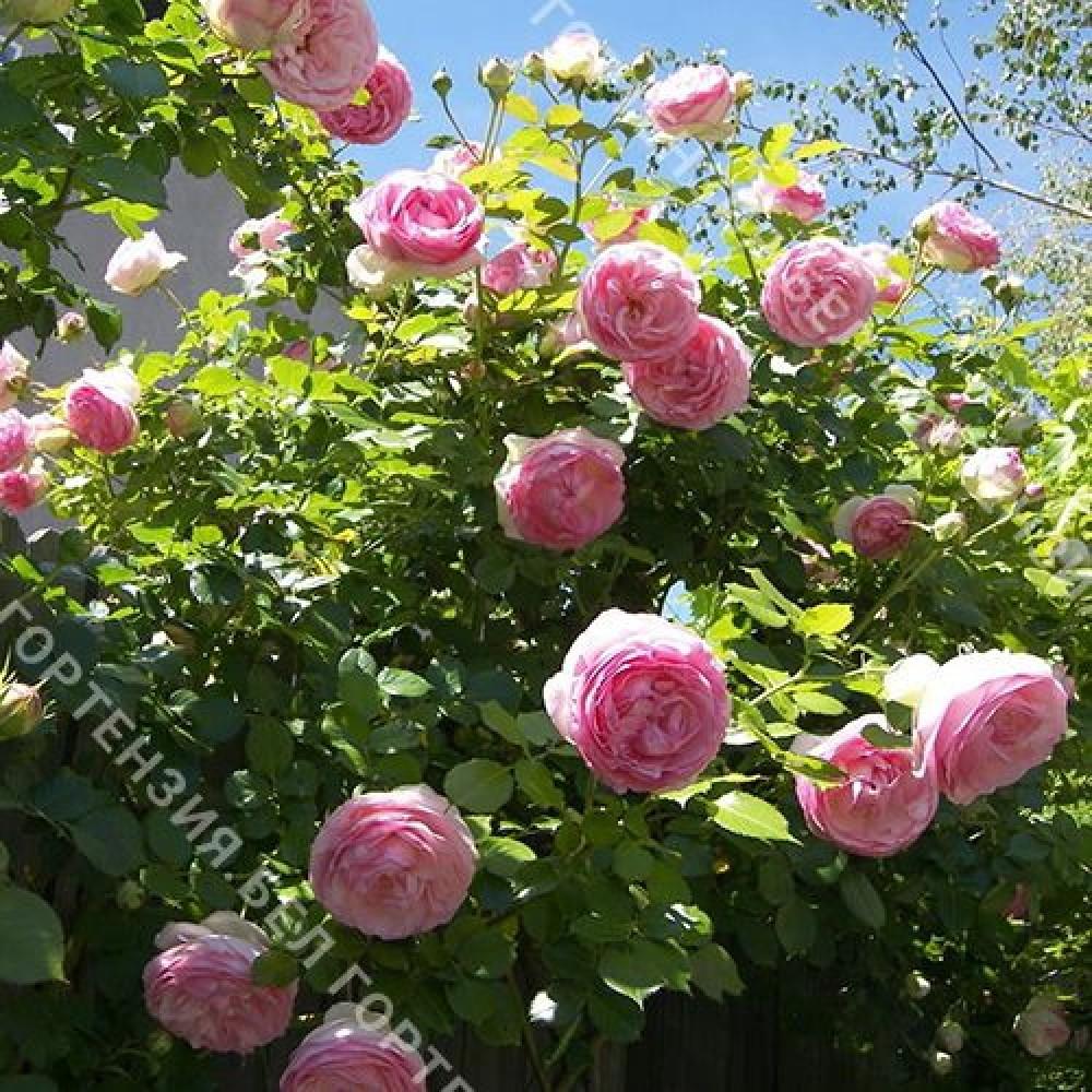 Роза Мини Эден Роуз