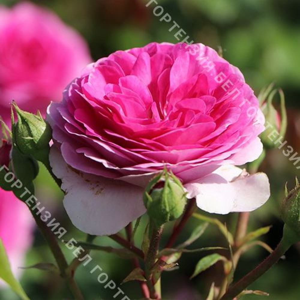 Роза Озеана