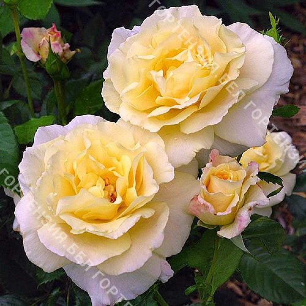 Роза Прейри Харвест
