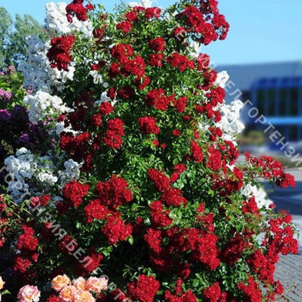 Роза Рамблинг Рози