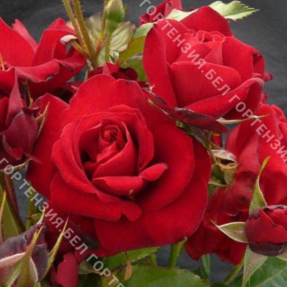 Роза Ред Квин