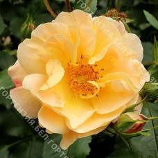 Роза Седана