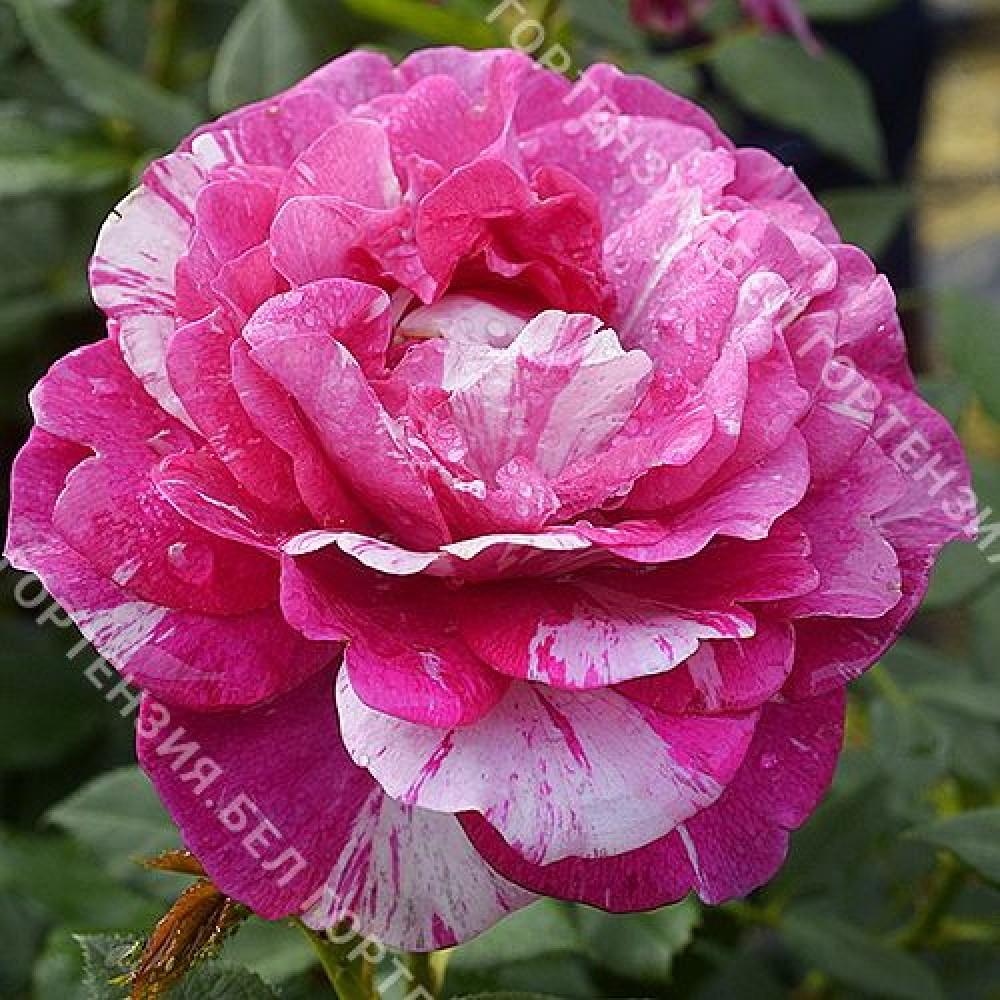 Роза Физзи Леди