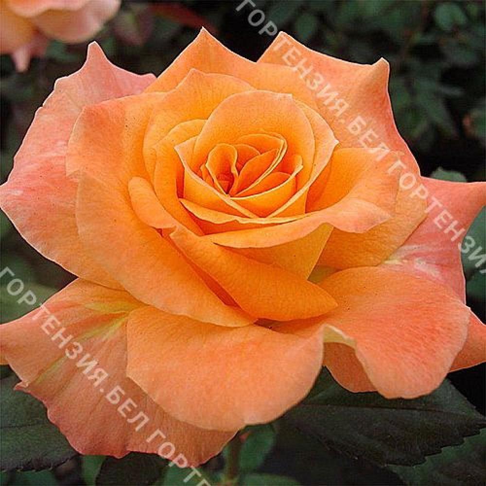 Роза Флора Даника