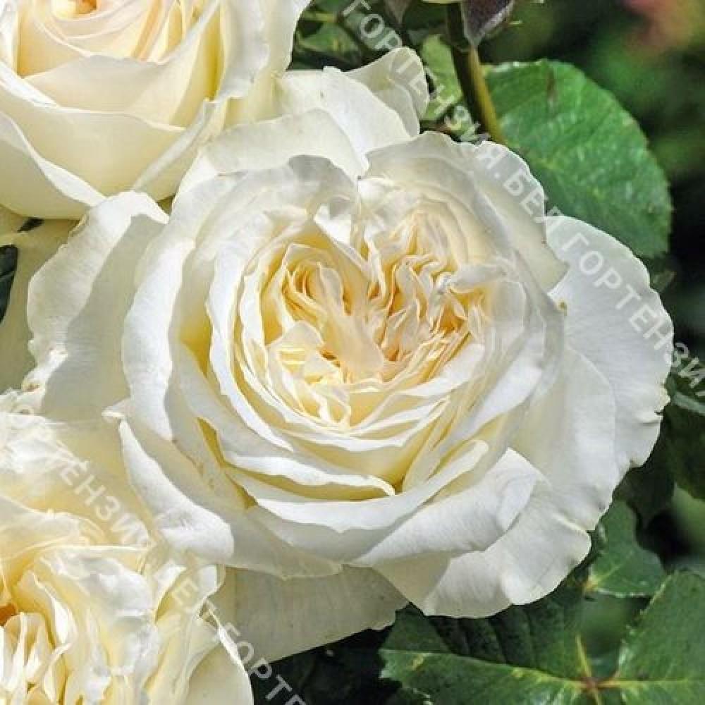 Роза Фриденслихт