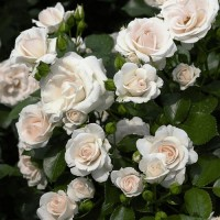 Роза Аспирин (горшок 6л.)