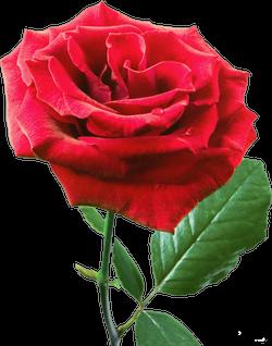 Сезонная распродажа роз